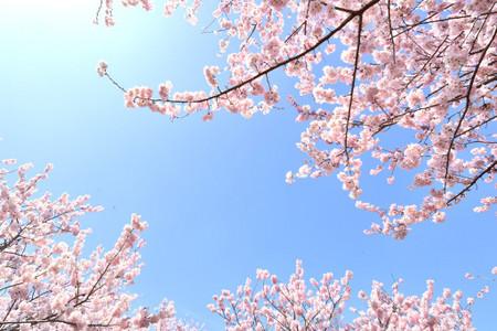 Sakura_s